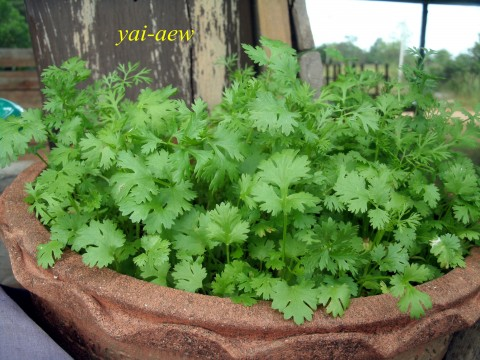 พืชผัก ...