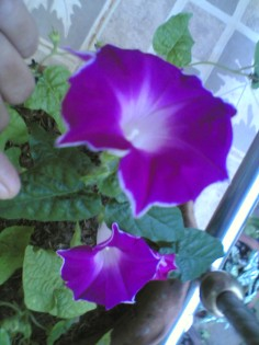 Pink star morning glory